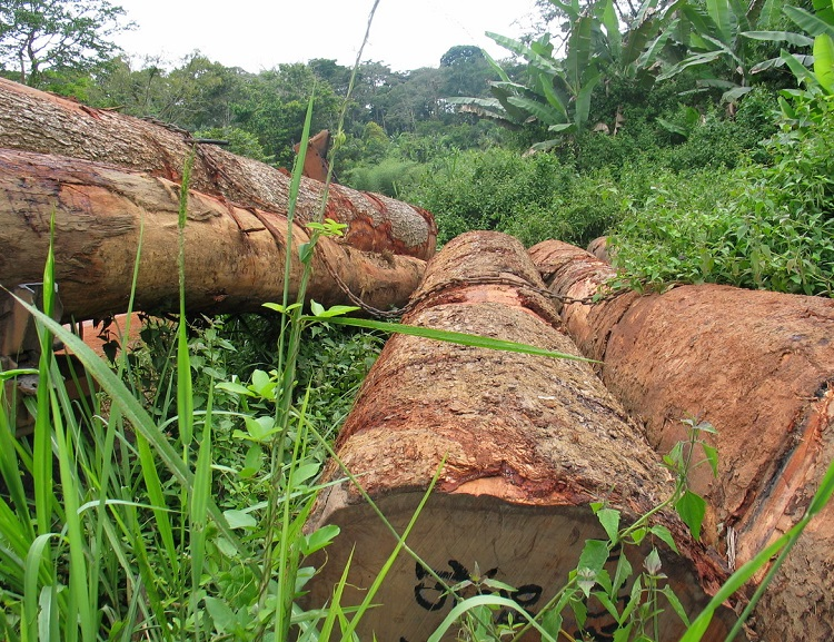 Investigation finds illegal tropical timber from the Democratic Republic of Congo may be finding its way into European markets